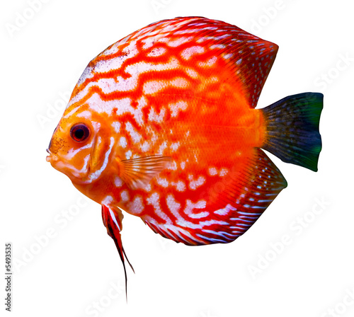 Valokuvatapetti colorful tropical discus fish