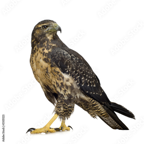 Young Black-chested Buzzard-eagle () - Geranoaetus melanoleucus Poster