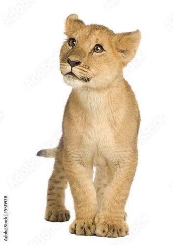 Poster Puma Lion Cub (5 months)