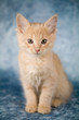 canvas print picture Sweet little red kitten sitting upright