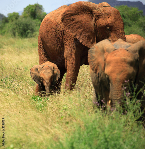 A trio of elephants in Samburu National Park, Kenya Africa.