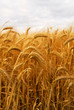 canvas print picture Golden wheat growing in a farm field
