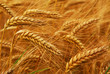 canvas print picture Golden wheat growing in a farm field, closeup on ears