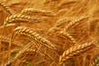 Leinwandbild Motiv Golden wheat growing in a farm field, closeup on ears