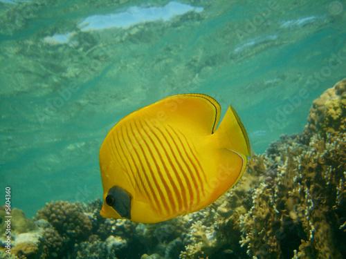 Fototapety, obrazy: maskenfalterfisch
