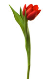 Beautiful and fresh tulip on a white background