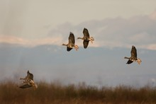 Whitefronted  Geese