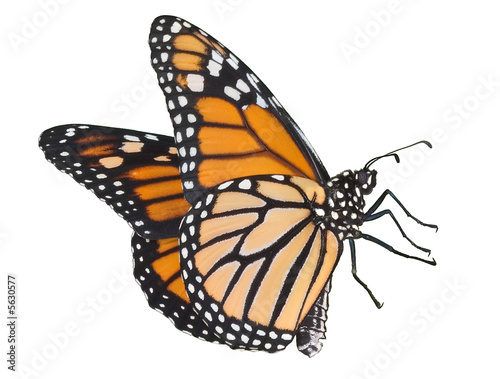 Photo  Monarch flying on white