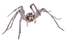 Wolf Spider On White