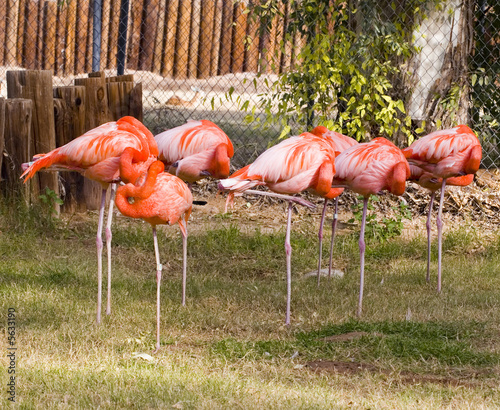 Garden Poster Parrot Red Flamingo Flock on a Patch of Green Grass