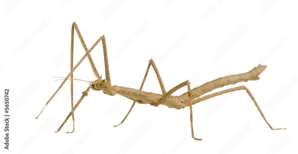 Photo  stick insect, Phasmatodea - Medauroidea extradentata