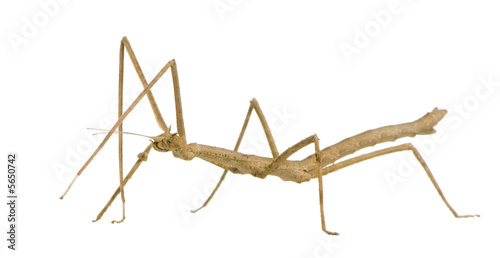 Photo  stick insect, Phasmatodea - Medauroidea extradentata