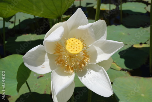 Fleur De Lotus Ile Maurice Buy This Stock Photo And Explore
