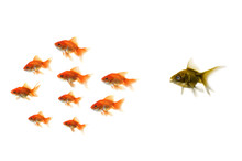 Gold Fish Standing Out From Th...