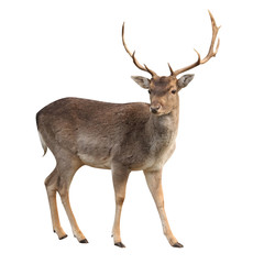 Fototapeta buck deer isolated with clipping path