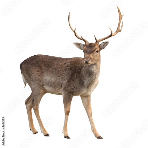 Fotobehang Hert buck deer isolated with clipping path