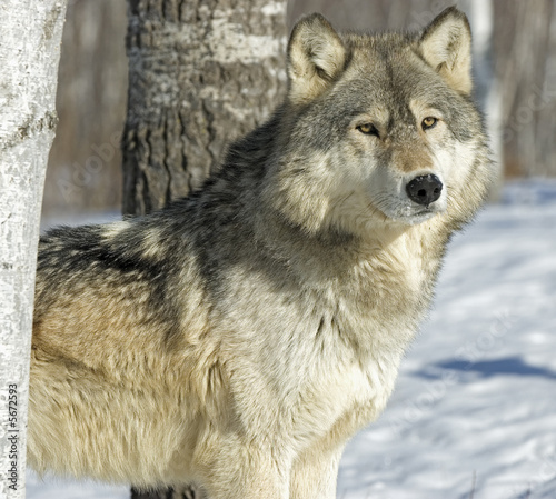 Fotobehang Wolf Gray wolf in winter forest. Photographed in Northern Minnesota