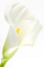 Calla Flower  Over White Backg...