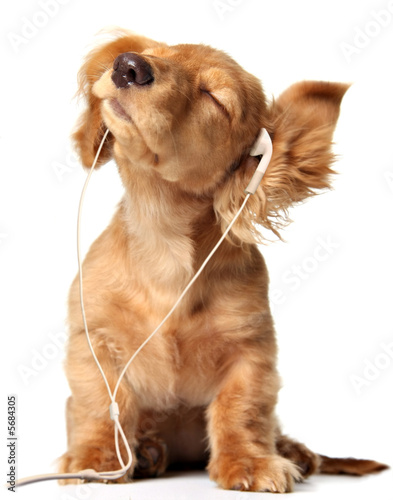 Obraz Young puppy listening to music on a head set. - fototapety do salonu