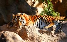 Tiger Laid