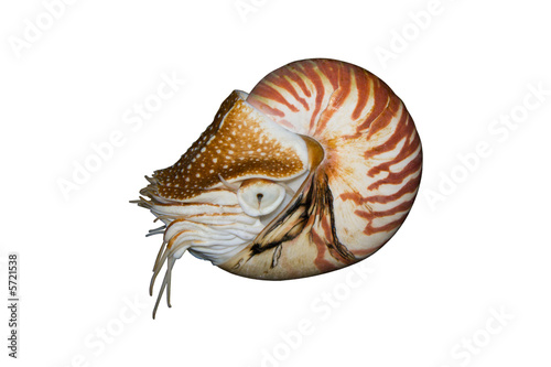 Fotografie, Obraz  Chambered Nautilus (Nautilus pompilius) isolated on white