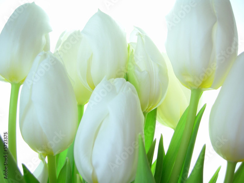 Fototapeta Close-up of bunch of white tulips on white background obraz