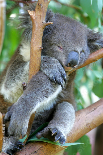 Canvas Prints Koala Koala Bear