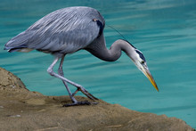 Great Blue Heron Close Up Looking For Fish