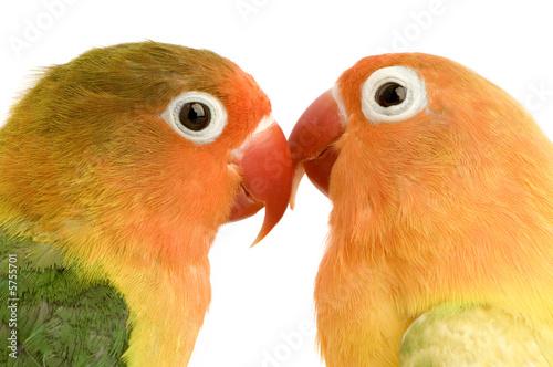 Foto-Flächenvorhang ohne Schienensystem - Peach-faced Lovebirdin   (von Eric Isselée)