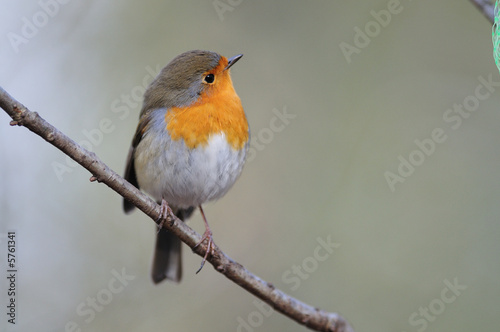 rouge gorge Erithacus rubecula rouge-gorge rougegorge Wallpaper Mural