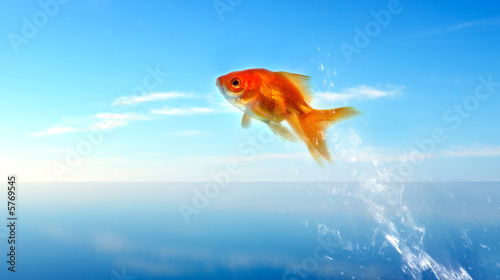 Tablou Canvas goldfish jumping out of the water