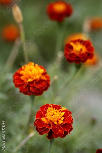 Poster Poppy Marigold garden
