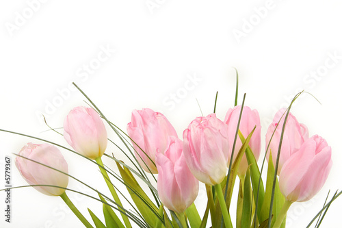 Poster Tulip Bouquet of pink tulips over white background