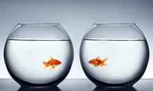 Goldfish Falling In Love