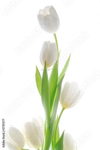 Doppelrollo mit Motiv - white tulip flowers