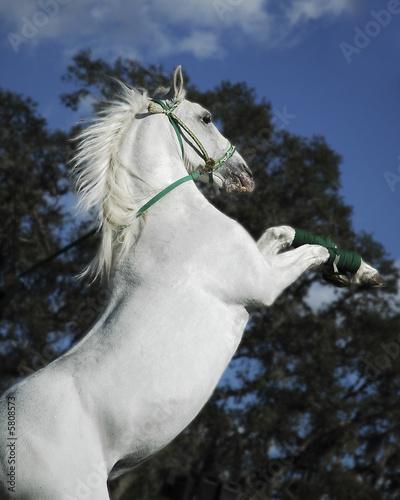 Foto-Flächenvorhang ohne Schienensystem - Rearing White Stallion (von Glenda Powers)