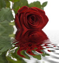Red Rose Reflecting From Water Surface Close Up