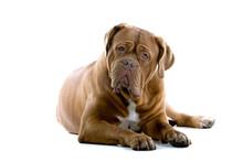 Bordeaux Dog, French Mastiff I...