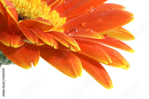 Tuinposter Gerbera gerbera daisy with a water drops isolated with Path