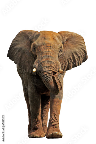 Foto op Plexiglas Leeuw African elephant isolated on a white background