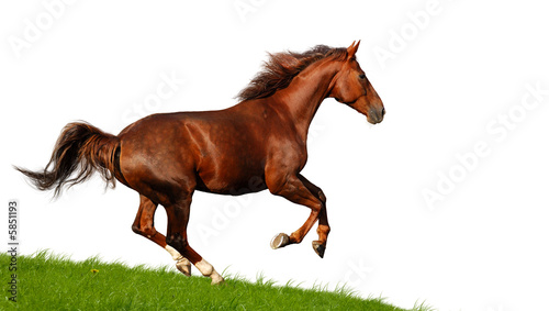 Foto op Canvas Paarden sorrel mare gallops - isolated on white