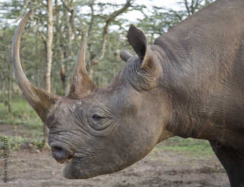 In de dag Neushoorn Black Rhino