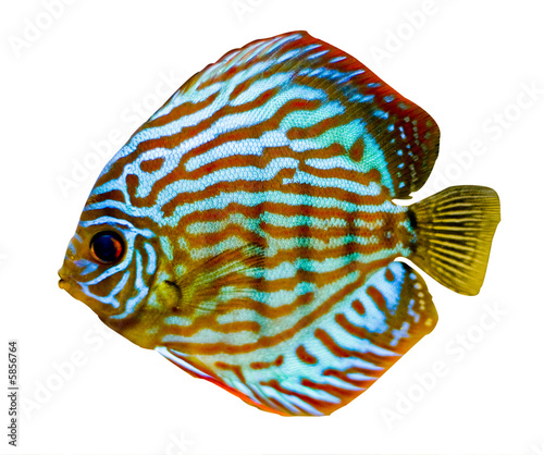 colorful discus fish Canvas-taulu