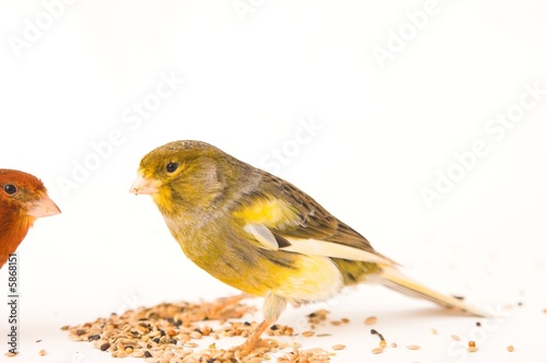 Photo  canary birds
