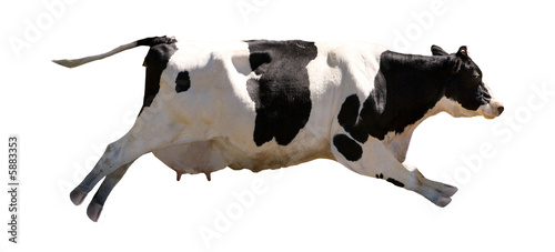 Photo Stands Cow A flying cow isolated on white