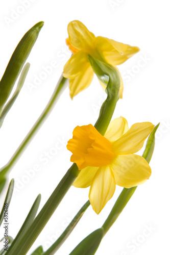 Papiers peints Narcisse daffodils