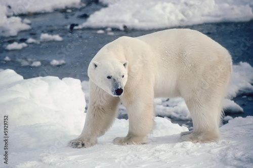 Large male polar bear on the shore of Hudson's Bay. Canvas Print