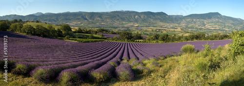 Garden Poster Lavender champ de lavande Provencal