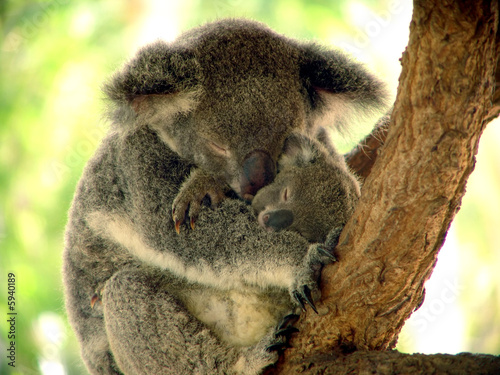 Foto op Canvas Koala Mittagsruhe