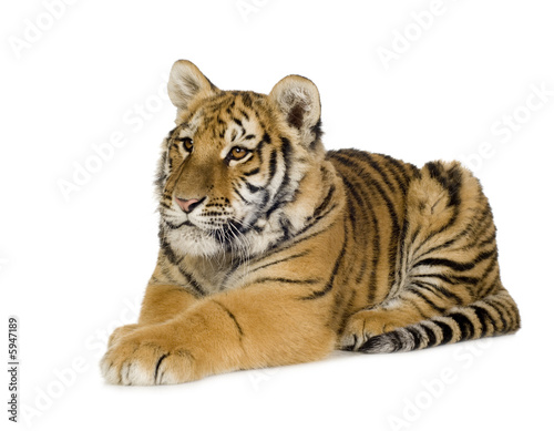 Keuken foto achterwand Tijger Tiger cub (5 months)